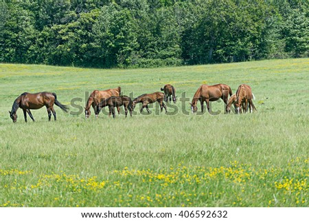 Mares and foals grazing in a lush grassy meadow - stock photo