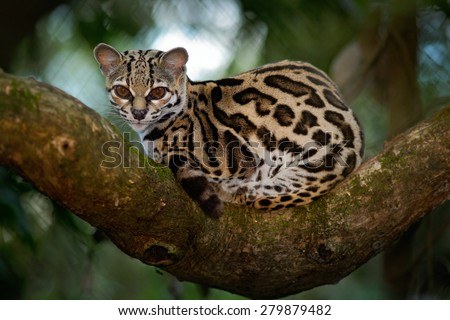 Margay, Leopardis wiedii, beautiful cat  sitiing on the branch in the costarican tropical forest - stock photo