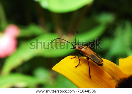 Margined soldier beetle, Chauliognathus marginatus, on Black-eyed Susan, ready to take flight, West Virginia - stock photo