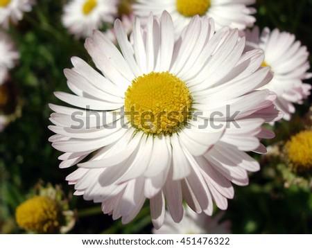 Marguerite flower - stock photo