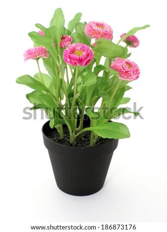 Marguerite, garden daisy, bellis isolated on white - stock photo