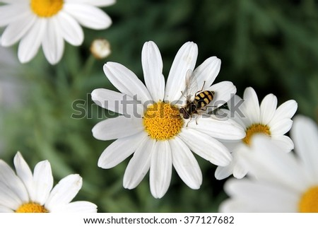 Marguerite with insect