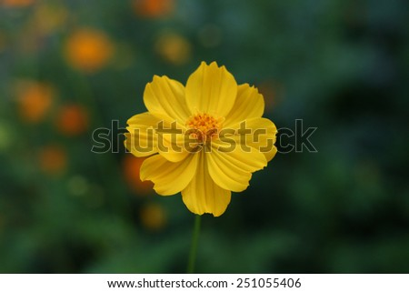 Marigold (Calendula officinalis) in blurred background - stock photo