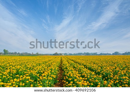 Marigold field with blue sky  background;retouch by add sky background.Agricultural concept,Agricultural industry concept. - stock photo