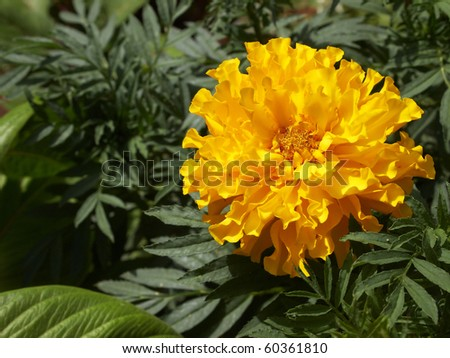 marigold flower, background - stock photo