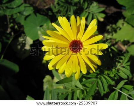 Marigold flower (Calendula) - stock photo