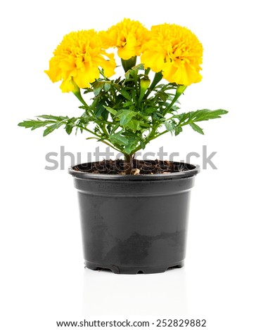 Marigold flower in pot on white background - stock photo