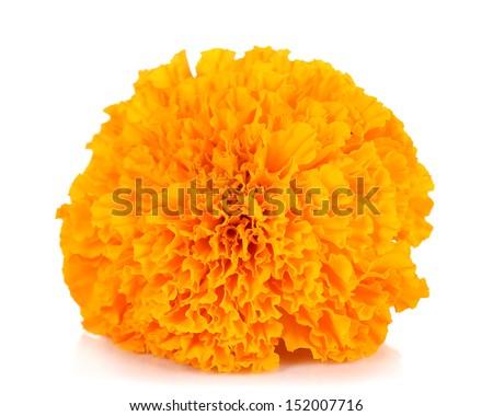 Marigold flower isolated on white - stock photo