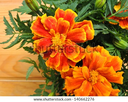 Marigold flower on wooden background - stock photo