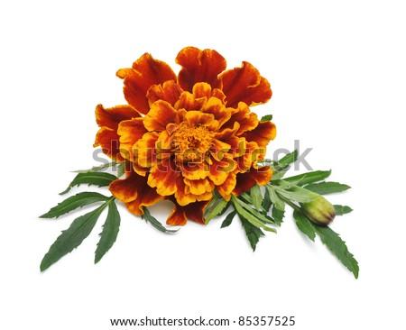 marigold flower (Tagetes patula)  isolated on white background - stock photo