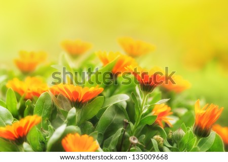 Marigold flowers in the meadow in the sunlight