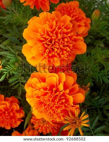 marigold flowers, natural background - stock photo