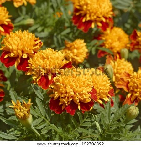 Marigold flowers on flowerbed close up in a lovely summer day - stock photo