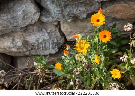 Marigold flowers on the grey stones background - stock photo