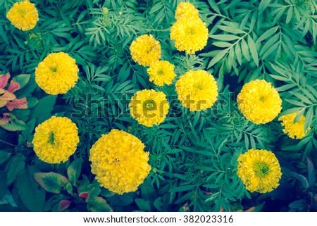 Marigold in the garden. - (Selective focus and split tone) - stock photo