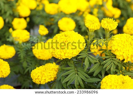Marigold in the garden Thailand - stock photo