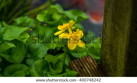 Marigold or Kingcup at a pond - stock photo