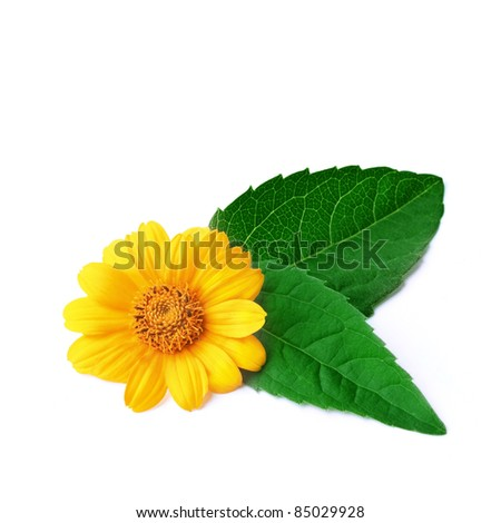 Marigold with leaves on white background. - stock photo