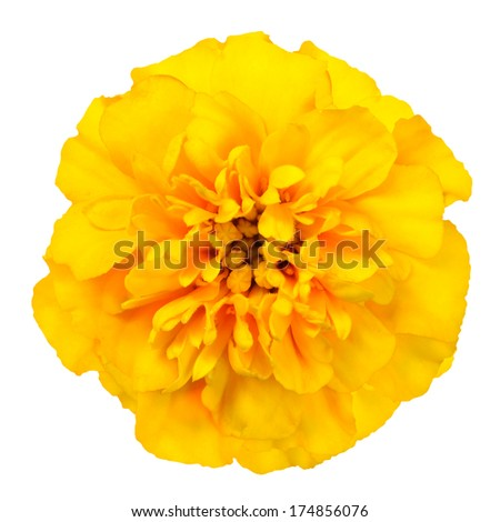 Marigold yellow, flower petals at the base of dark-yellow at the edges light-yellow.  Isolated on white background - stock photo