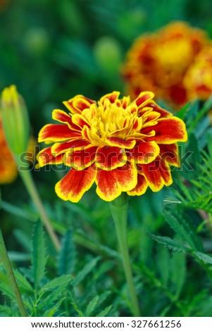 Marigolds, flowers, macro flowers, nature. - stock photo