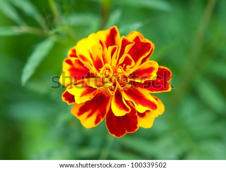 marigolds growing in the flowerbed - stock photo