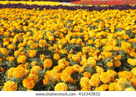 Marigolds on the flowerbed on a Sunny day.