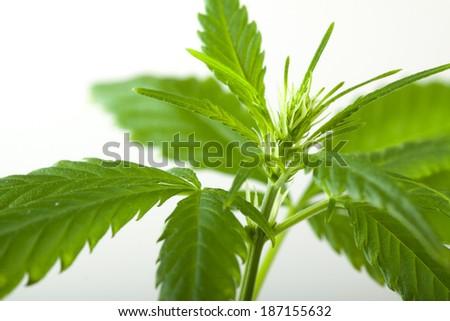 Marijuana bud, isolated on white background - stock photo