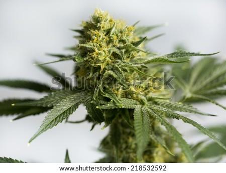 Marijuana buds ( cannabis), hemp plant.  - stock photo