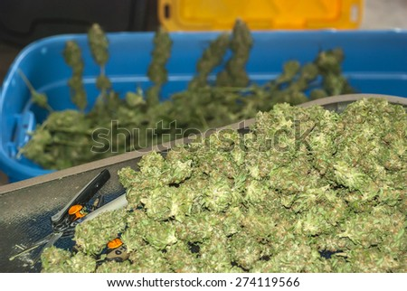 Marijuana Buds in a Pile being Trimmed - stock photo