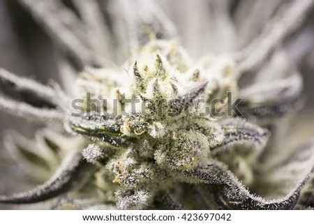 Marijuana flowering buds ( cannabis), hemp plant. Very large indoor weed harvest. - stock photo