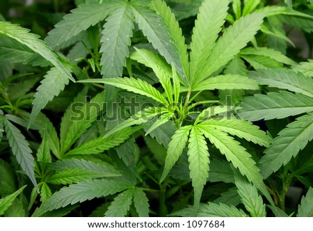 marijuana foliage - stock photo