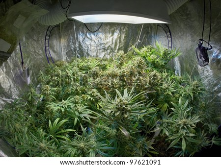 Marijuana garden indoor grow area - stock photo
