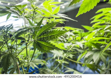 Marijuana is grown under fluorescent lamps for medical purposes