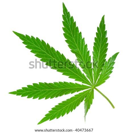 marijuana leaf isolated on white - stock photo