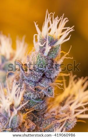 Marijuana Macro - Purple Trichomes - stock photo