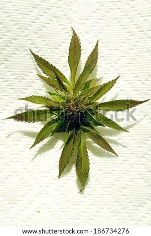 Marijuana Pant, Bud  - stock photo