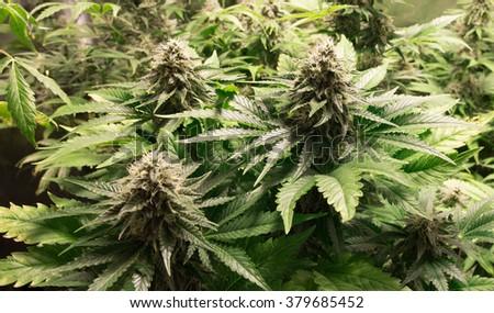 Marijuana plant - stock photo