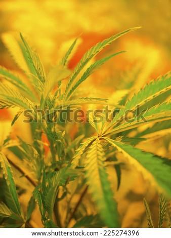Marijuana Plant botanical, Cannabis Background - stock photo