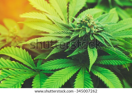 Marijuana Plant Budding Outdoors at Sunset - stock photo