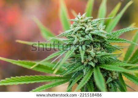 marijuana plant flowering outdoors