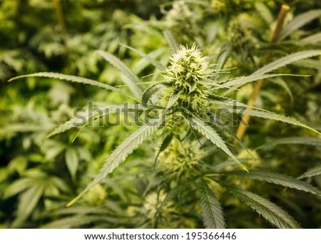 Marijuana plant in garden, focus on bud - stock photo