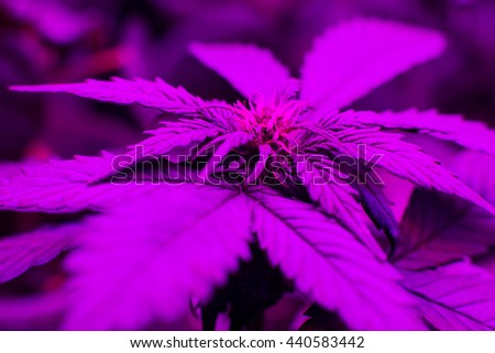 marijuana plant is grown under LED lamp light, a special spectrum  for plants - stock photo