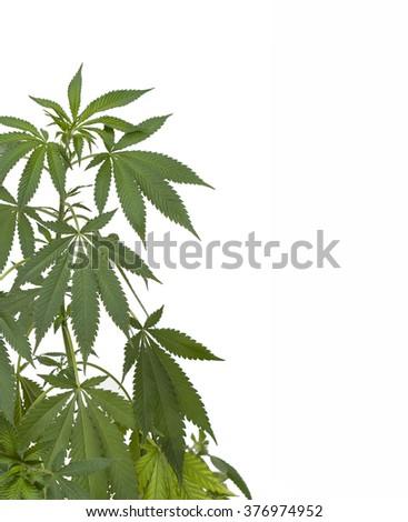 Marijuana plant. Medical cannabis isolated on white - stock photo