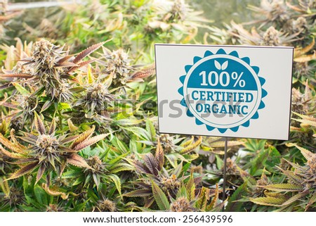 Marijuana plants in garden with certified organic sign
