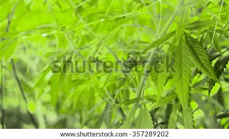 Marijuana Plants, Pot Leaf background, Cannabis Indica - stock photo