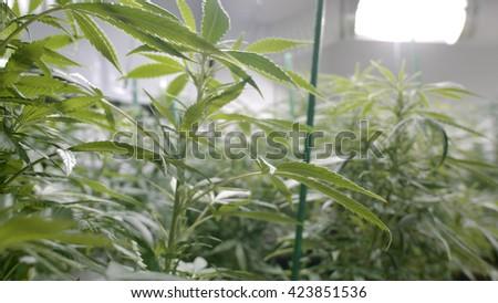 Marijuana Plants Under The Grow Lights at Indoor Cannabis Farm  - stock photo