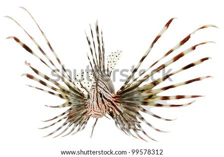 marine fish, lion fish isolated on white background - stock photo