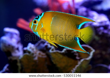 marine fish live in coral reef under the sea ,popular to used as a pet in an aquarium. red and white anemone fish live in coral reef under the sea