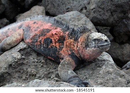 Marine iguana (Amblyrhynchus cristatus) is found only on the Galapagos. Has the unique ability to live in the sea. Adult males are not always black; their coloration varies with the breeding season. - stock photo