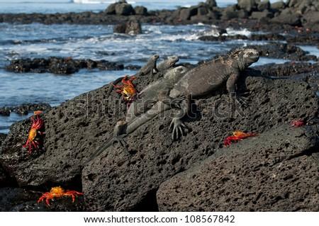 Marine iguana (Amblyrhynchus cristatus), Santa Cruz Island, Galapagos Islands, UNESCO World Heritage Site, Ecuador, South America - stock photo